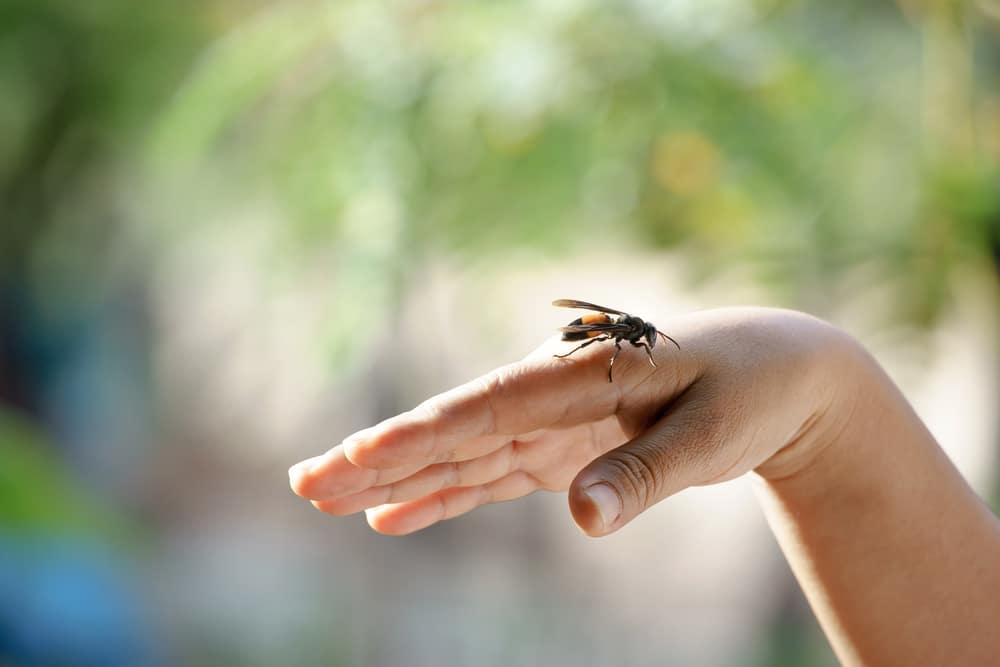 picadura de abeja africana tratamiento