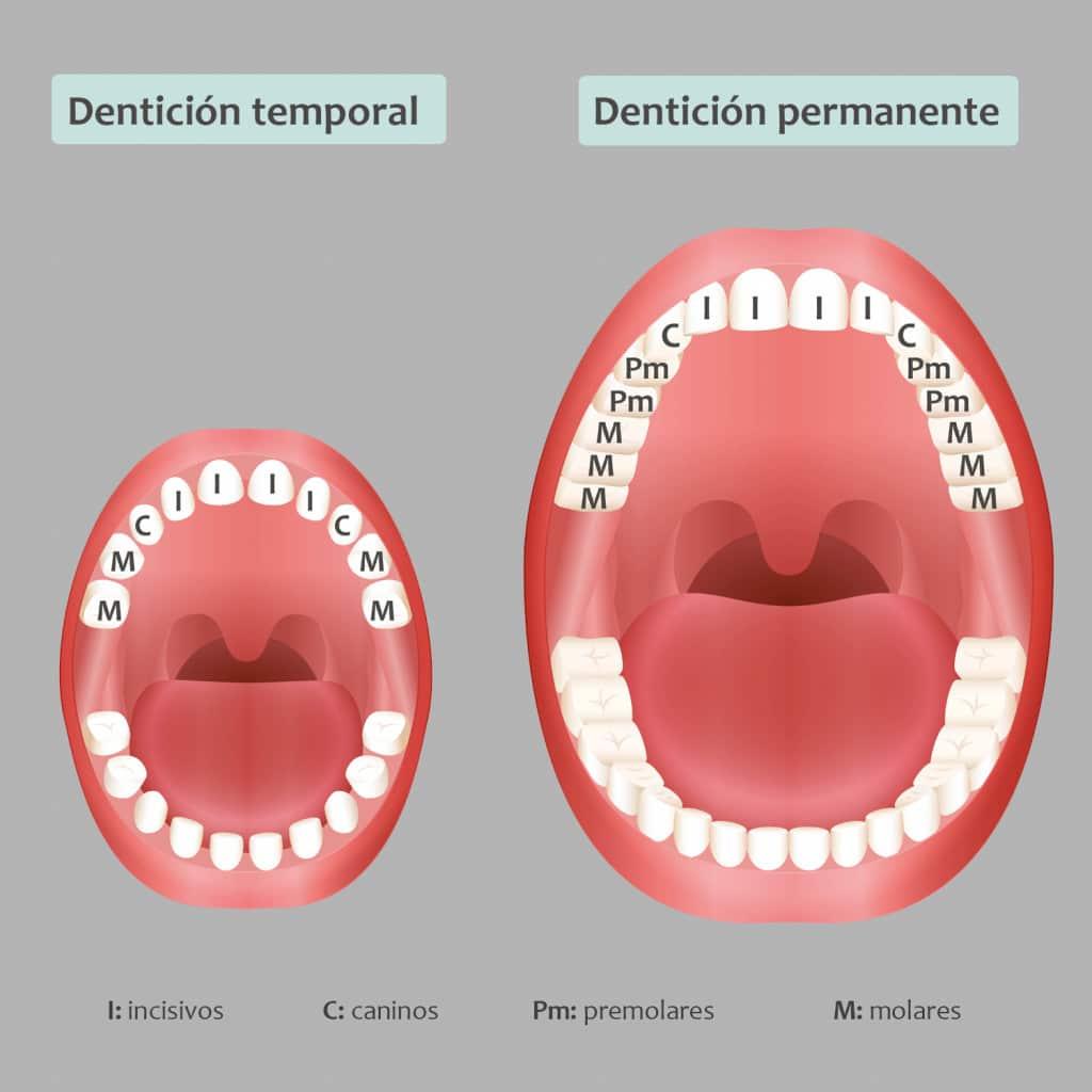 La dentición temporal (20 piezas) y permanente (32 piezas).
