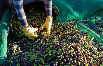 El aceite de oliva, pilar básico en la dieta mediterránea