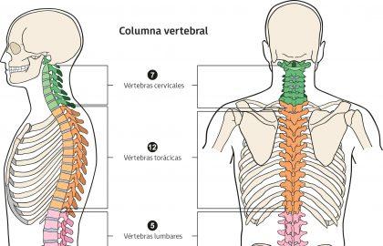 La columna vertebral es una estructura ósea que se extiende de la cabeza hasta la pelvis.